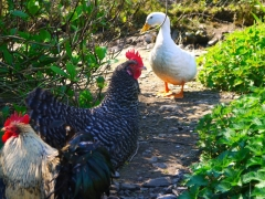 A few chickens and ducks will share your holiday