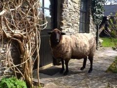 Ludo the Sheep